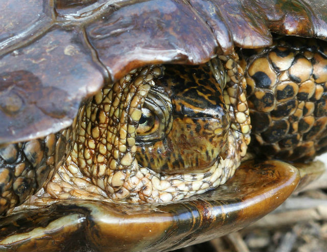 western pond turtle 083
