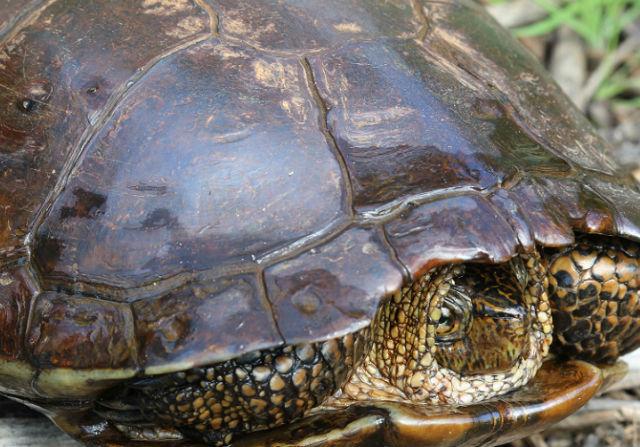 western pond turtle 084s