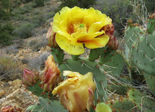 prickly pear cactus_5311