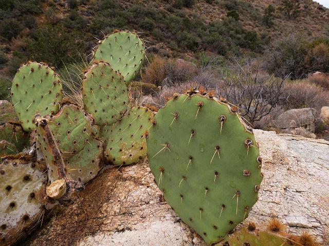prickly pear cactus_5320