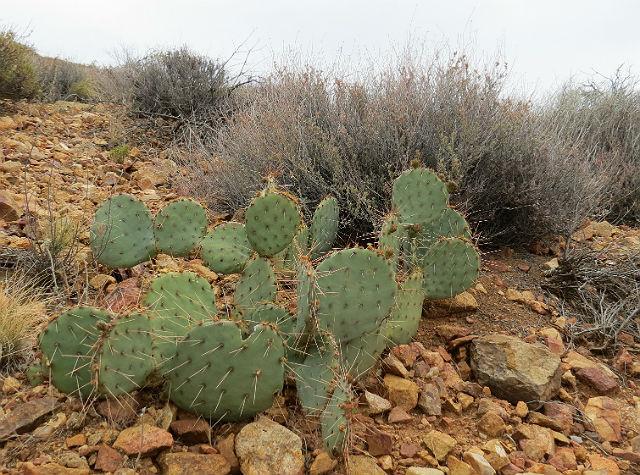 prickly pear cactus_5326