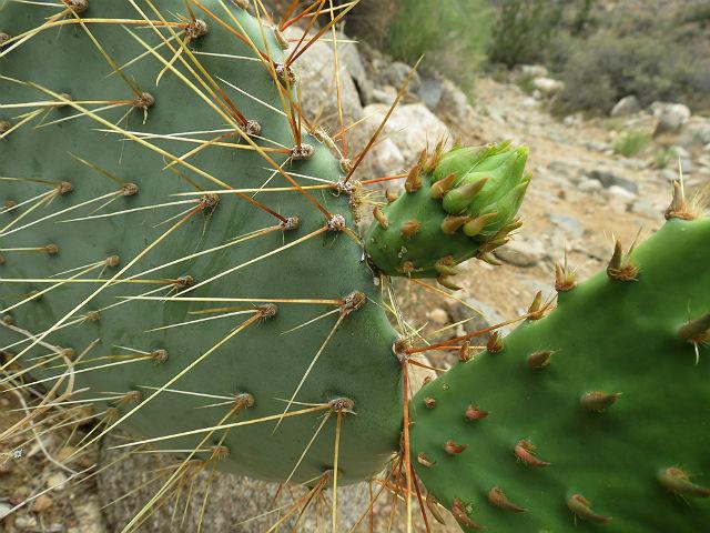 prickly pear cactus_5331