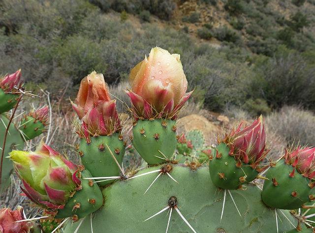 prickly pear cactus__5315