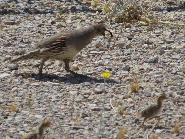 quail_4863