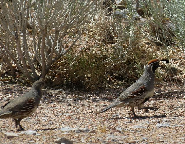 quail_4869