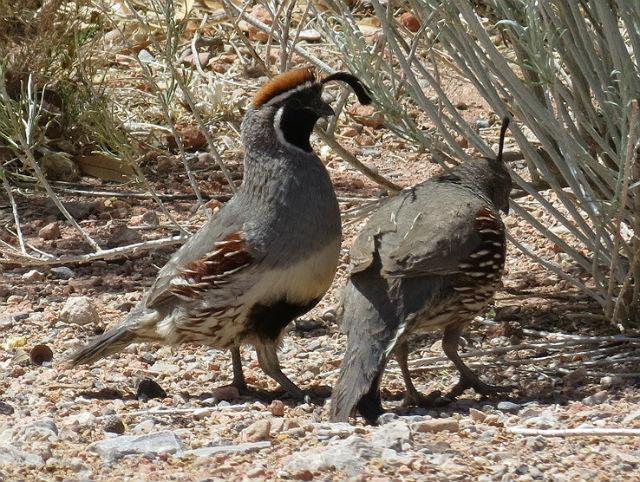 quail_4870