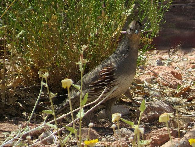 quail_4873