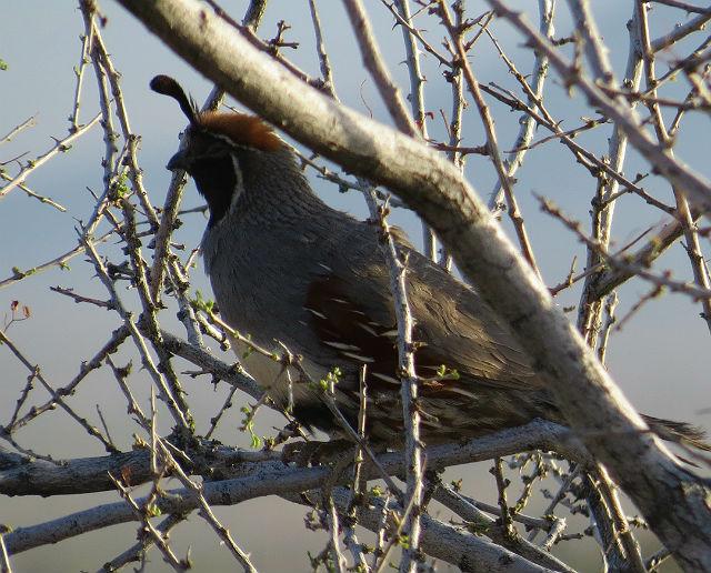 quail_5014