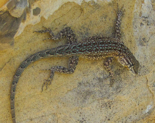 side-blotched lizard_4729
