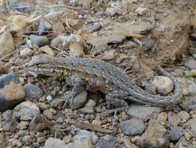 side-blotched lizard_4740