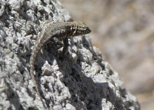 side-blotched lizard_4799