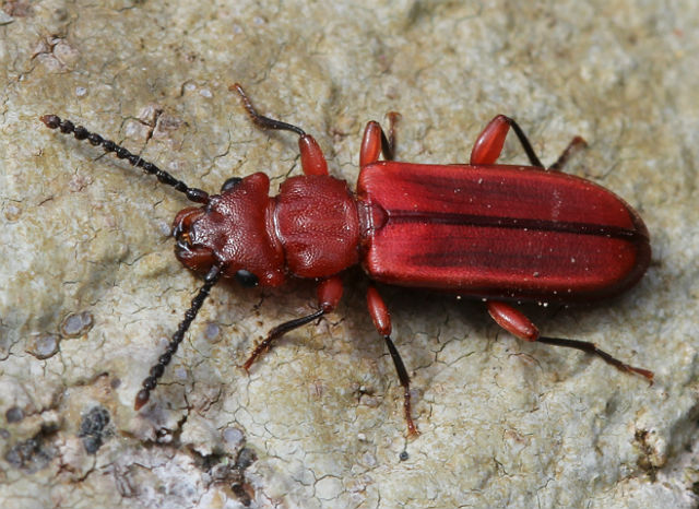 red flat bark beetle 050