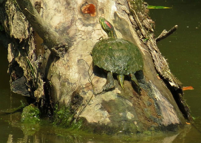 Red-eared Slider 6337