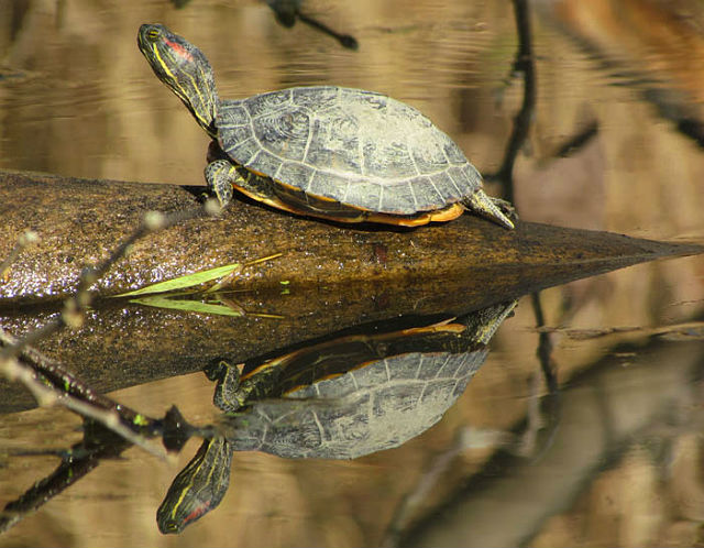 Red-eared Slider 8043