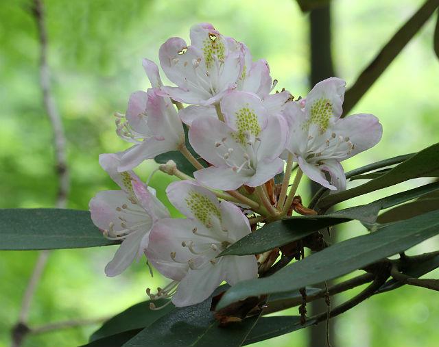 Rosebay Rhododendron 004