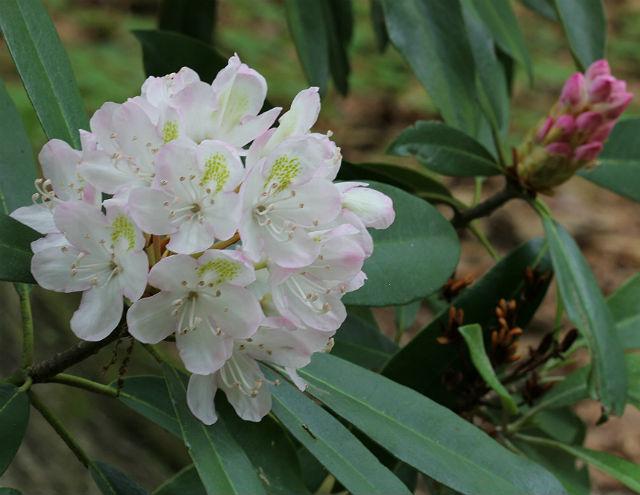 Rosebay Rhododendron 014