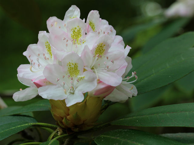 Rosebay Rhododendron 023