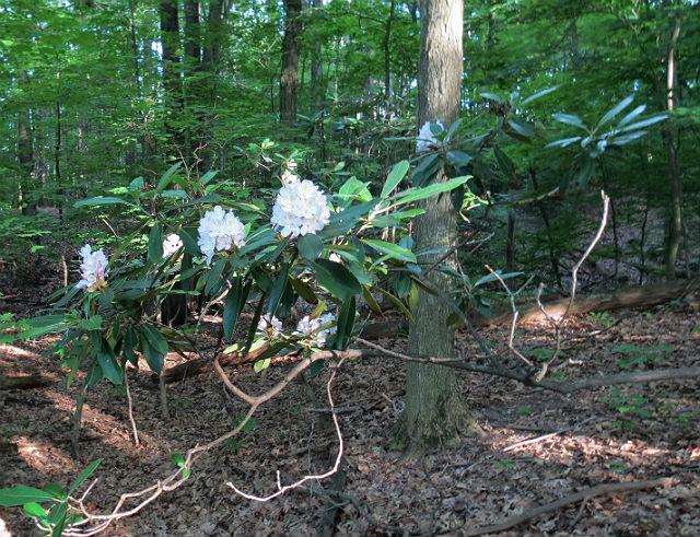 Rosebay Rhododendron _5926