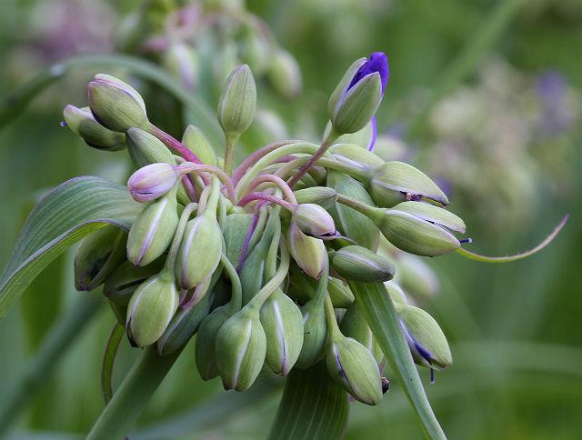 spiderwort 027
