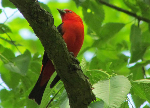 tanager_05_19 057