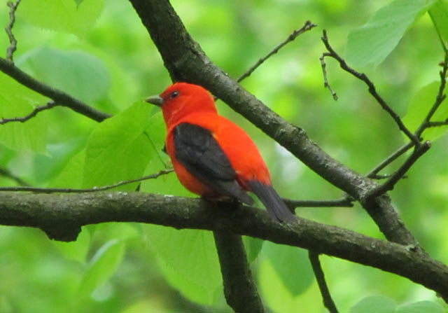 tanager_05_19 062