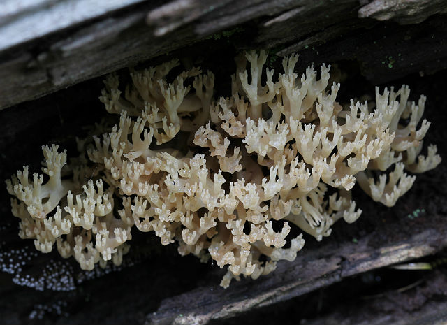 Crown-Tipped Coral Mushrooms 005
