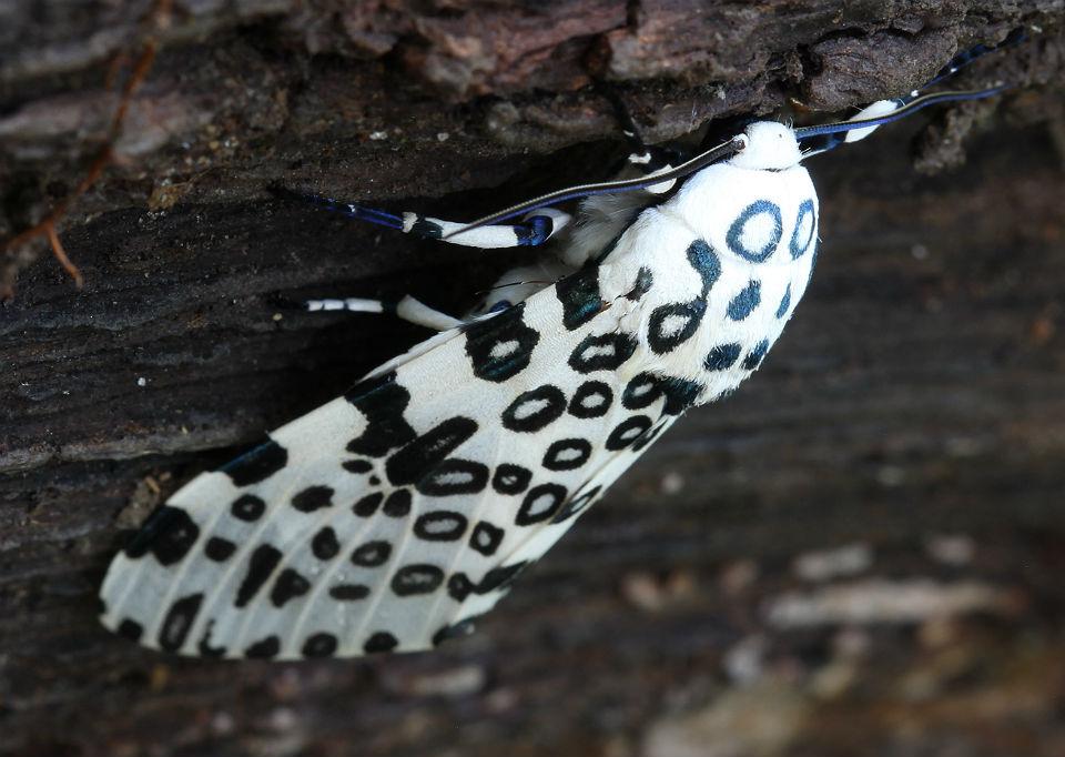 Giant Leopard Moth 022