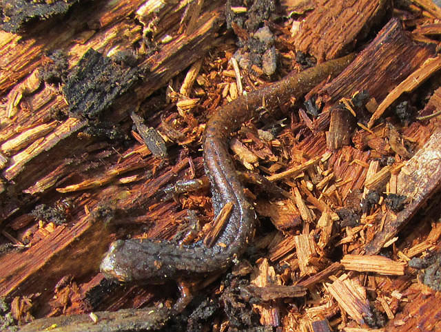four-toed salamander_3654