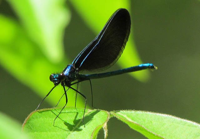 Ebony Jewelwing_5697