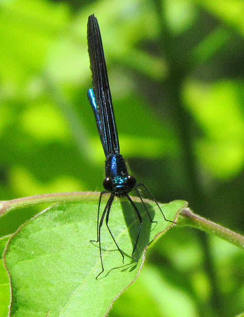Ebony Jewelwing_5701