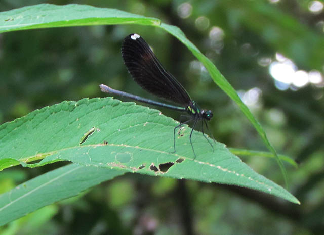 ebony jewelwing_1211
