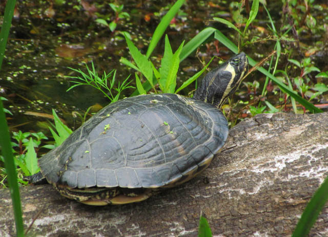 yellowbelly turtle_0106