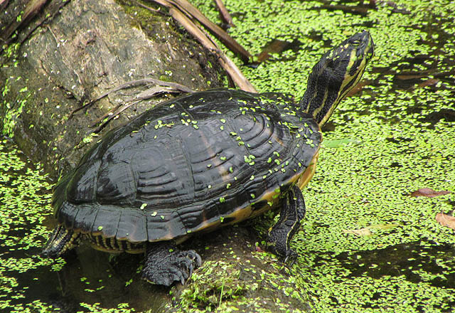 yellowbelly turtle_09 058