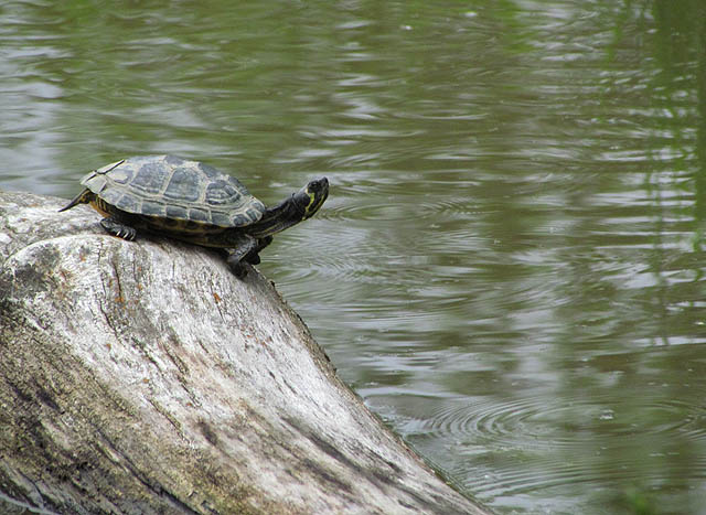 yellowbelly turtle_6631