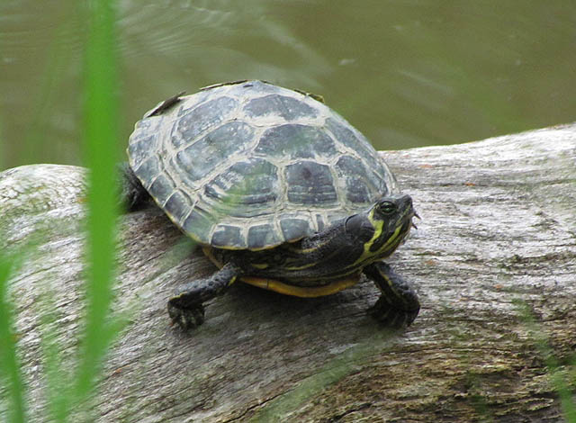 yellowbelly turtle_6635