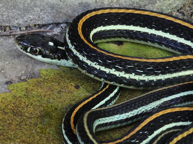 Western Ribbon Snake 057