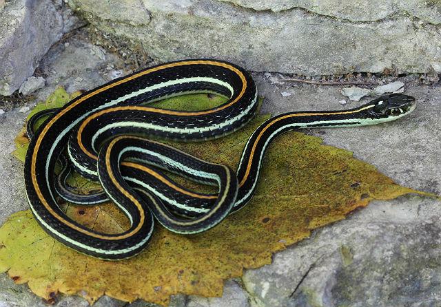 Western Ribbon Snake 058