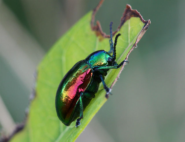 dogbane leaf beetle 022
