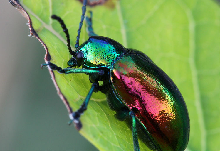 dogbane leaf beetle 026 crop