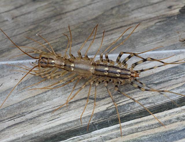 house centipede 005