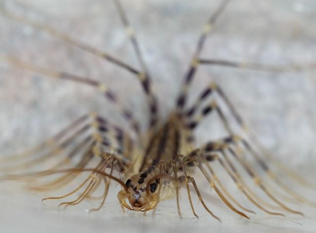 house centipede_0089