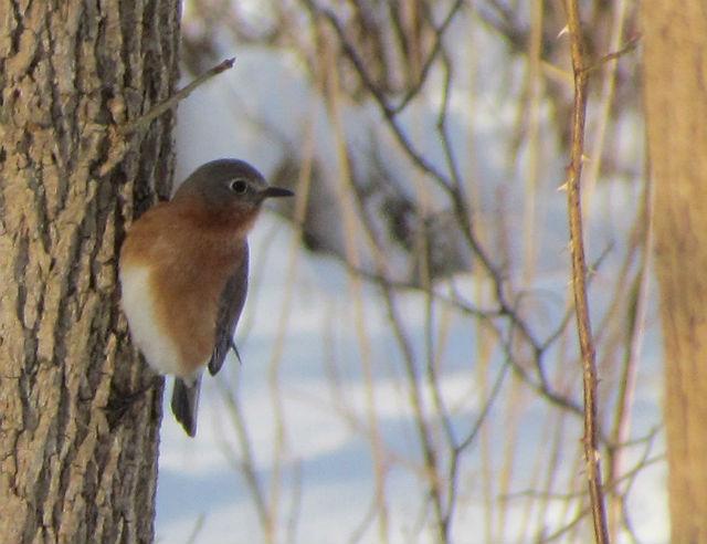 bluebird_0598