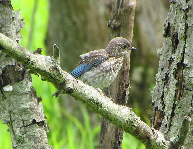 bluebird_1865
