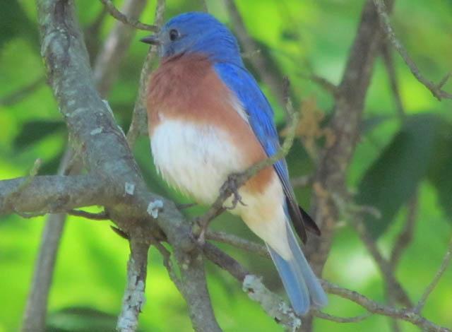 bluebird_5291