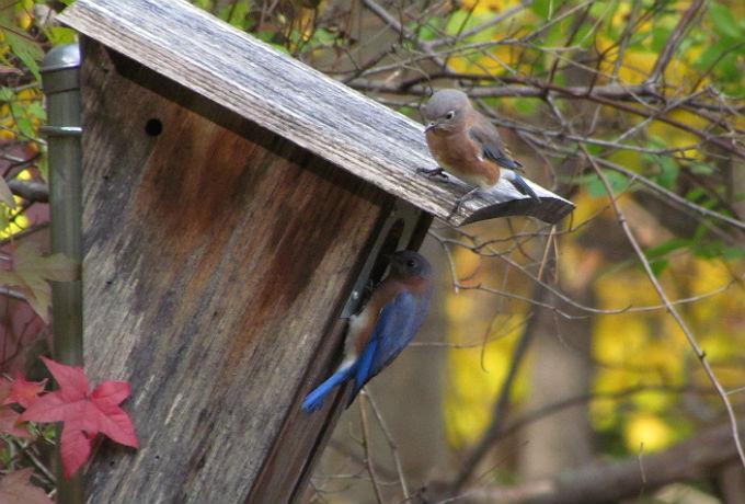 bluebirds_8836