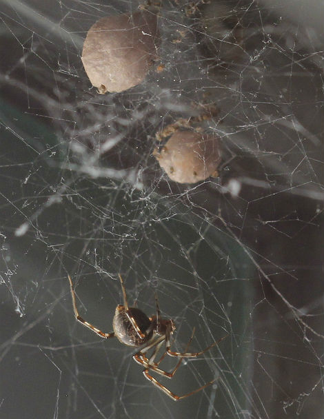 house spider 008