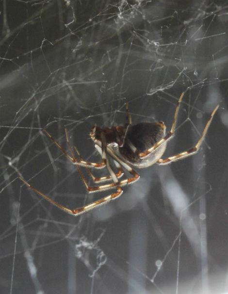 house spider 015