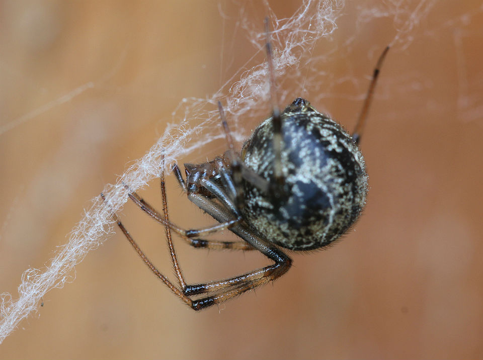 house spider 114
