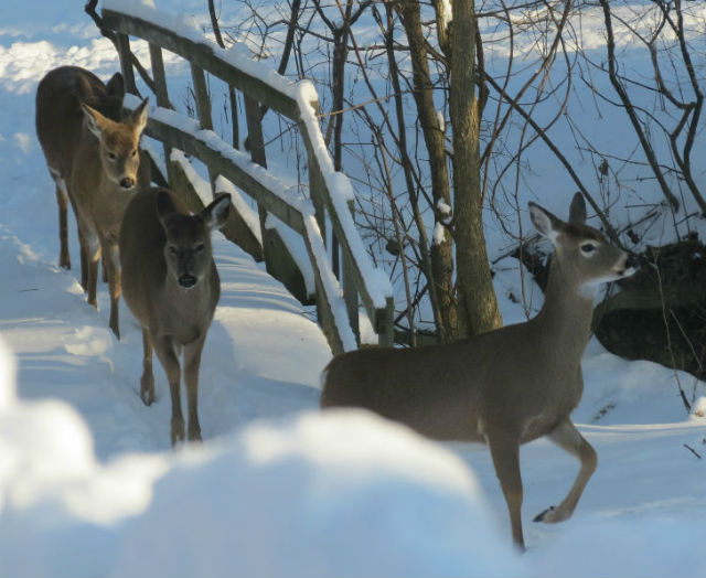 deer_8224