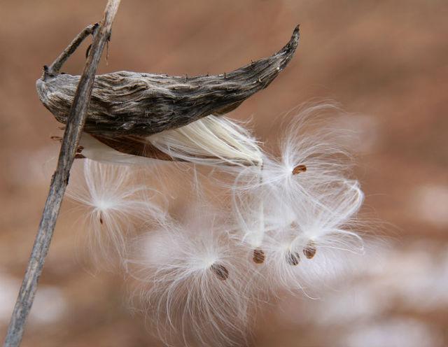 milkweed030